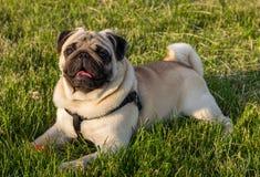 可爱的愉快的白色肥胖逗人喜爱的哈巴狗狗擦放置在绿草地板在做滑稽的面孔的温暖的夏天阳光下 图库摄影