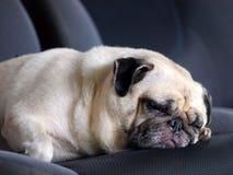可爱的愉快的白色肥胖逗人喜爱的哈巴狗狗 库存照片