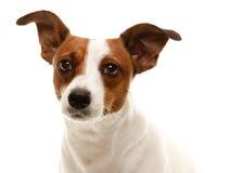 可爱的插孔portait罗素狗 库存照片