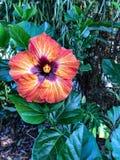 可爱的木槿开花 库存图片