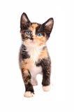 可爱的杂色猫 免版税库存照片