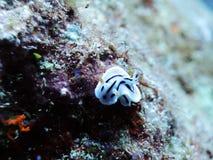 可爱的条纹Ovula (卵子) 库存图片
