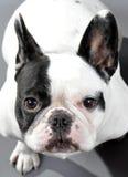 可爱的染色母法国牛头犬 免版税库存图片