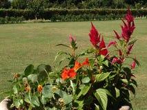 可爱的桃红色花在Moghul庭院斯利那加里 免版税库存照片