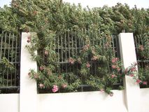 可爱的桃红色花Busch在沙特沙漠 库存照片