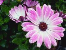 可爱的桃红色西班牙雏菊在雨中 图库摄影