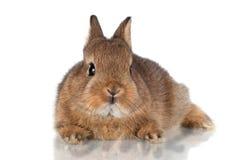 可爱的棕色小兔子 免版税库存照片