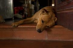 可爱的棕色毛发的狗说谎在有一点黑小狗的门阶的在背景中-低角度视图-与哀伤的面孔的宠物 图库摄影