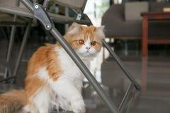 可爱的棕色波斯猫坐在咖啡店的地板 免版税库存图片