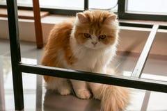 可爱的棕色波斯猫坐在咖啡店的地板 库存照片