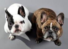 可爱的法国牛头犬兄弟姐妹 库存照片