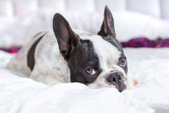 可爱的法国牛头犬小狗 图库摄影