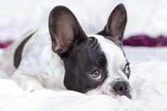 可爱的法国牛头犬小狗 免版税库存照片