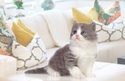 可爱的波斯小猫在家 库存图片