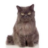 可爱的波斯猫   图库摄影