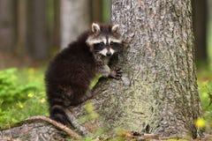 可爱的浣熊 库存照片
