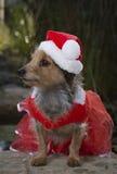 可爱的混杂的品种狗外形在红色鞋带礼服的有圣诞老人帽子的 免版税库存照片