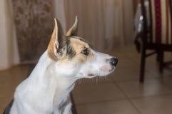 可爱的混杂的品种年轻人狗画象  库存照片