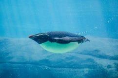 可爱的澳大利亚矮小的企鹅Eudyptula未成年人是企鹅游泳的最小的种类在储水箱的 库存图片