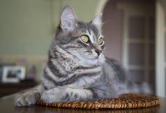 可爱的灰色猫在家 免版税库存照片