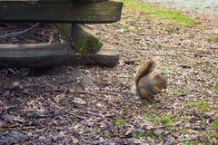 可爱的灰鼠在秋天公园 库存图片