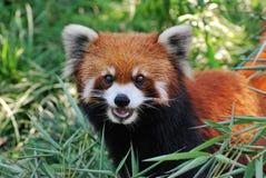可爱的熊猫红色 库存照片