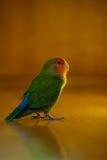 可爱的爱鸟 库存图片