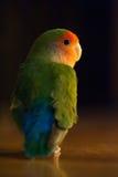 可爱的爱鸟 免版税库存照片