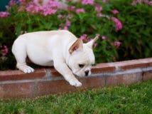 可爱的牛头犬法语小狗 免版税库存图片