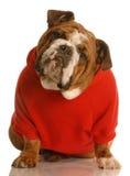 可爱的牛头犬英语 免版税库存照片