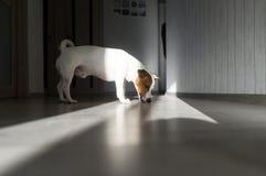 可爱的狗殷勤地舔在太阳的地板户内 免版税图库摄影