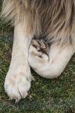 可爱的狮子爪子 库存照片