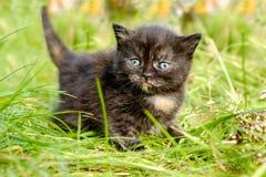 可爱的猫叫的平纹小猫户外 库存照片