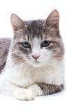 可爱的猫纵向 免版税库存照片