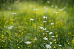 可爱的白色海角延命菊雏菊在有浅景深的一个自然草甸开花 被弄脏的背景 免版税库存图片