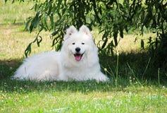 可爱的白色萨莫耶特人小狗微笑  免版税库存图片