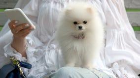 可爱的白色Pomeranian小狗 库存图片
