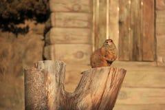 可爱的矮小的棕色灰鼠 免版税库存照片