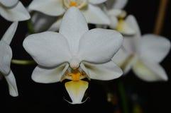 可爱的矮小的白色兰花发光 库存图片
