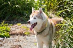 可爱的米黄和白色狗品种西伯利亚爱斯基摩人身分外形画象在绿草的在海边在夏天 库存图片