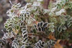 可爱的结霜的罗斯叶子在早期的冬天 图库摄影