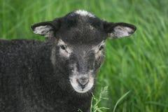 可爱的羊羔 免版税库存图片