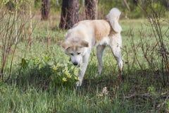 可爱的美好的日本人秋田Inu在森林里在春天嗅黄色snowdrops花在草和树中 免版税库存图片