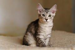 可爱的良种小猫 免版税库存照片