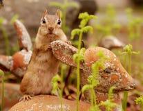可爱的花栗鼠 库存图片