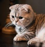 可爱的苏格兰人折叠凝视在距离的munchkin猫 免版税库存照片