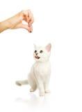 可爱的英国小猫 免版税图库摄影