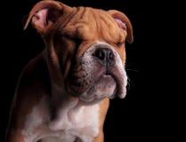可爱的英国牛头犬身分头与眼睛的关闭了 库存图片
