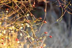 可爱的莓果在12月 免版税图库摄影