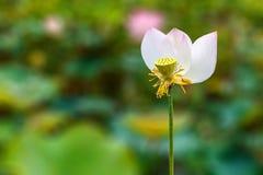 可爱的莲花在一个自然热带池塘明亮地开花 库存图片